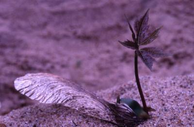 Acer saccharinum (silver maple), seedling