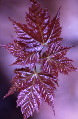 Acer saccharinum (silver maple), young leaves, spring