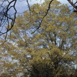Acer saccharum (sugar maple), spring
