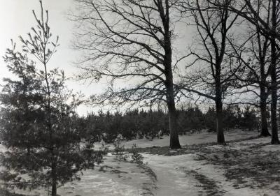 Pine Hill, pine plantings on Thornhill residence grounds