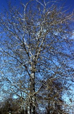 Acer saccharinum (silver maple), spring