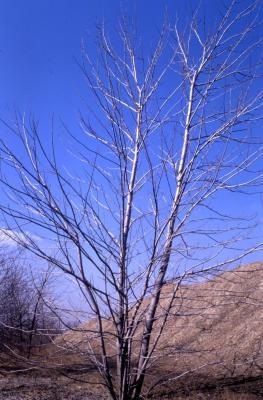 Acer saccharinum (silver maple), winter