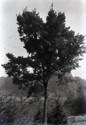 Arboretum scene, tall deciduous tree with shorter evergreens around trunk, bridge and body of water behind