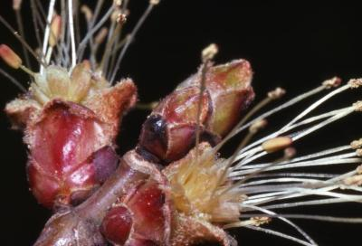 Acer saccharinum (silver maple), male flowers