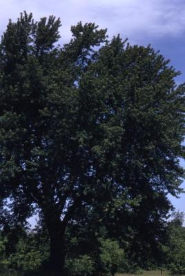 Acer saccharinum (silver maple), summer