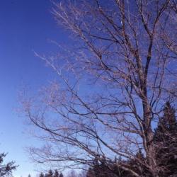 Acer saccharum (sugar maple), winter