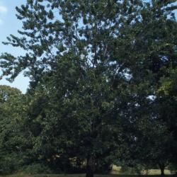 Acer saccharinum (silver maple), habit