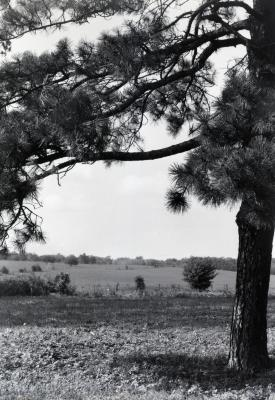 Austrian pine on right with view of Thompson's 2nd homesite (site of first Lisle Post Office)