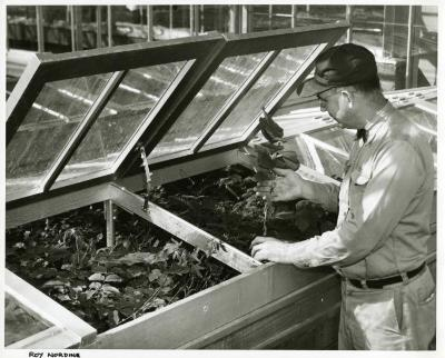 Closeup of Roy Nordine working in greenhouse