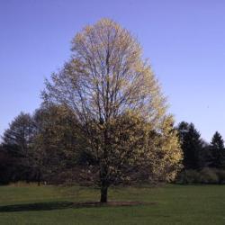 Acer saccharum (sugar maple), habit, spring