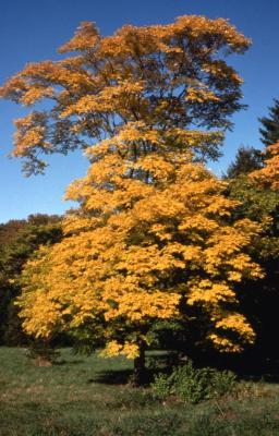 Acer saccharum (sugar maple), fall color, habit