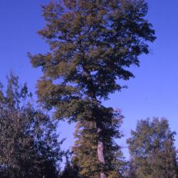 Acer saccharum (sugar maple), habit