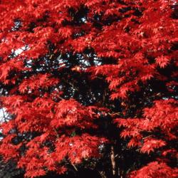 Acer palmatum (Japanese maple), leaves with fall color