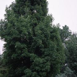 Acer saccharum 'Bonfire' (Bonfire sugar maple), habit, summer