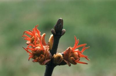 Acer saccharinum (silver maple), female flowers and buds