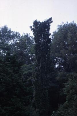 Acer saccharum 'Newton Sentry' (Newton Sentry)