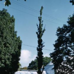 Acer saccharum 'Newton Sentry' (Newton Sentry), habit