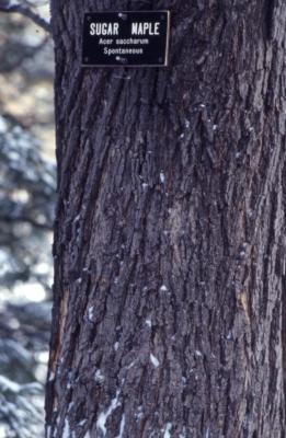 Acer saccharum (sugar maple), bark