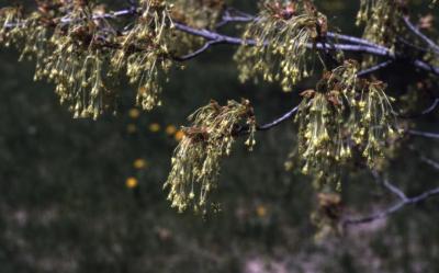 Acer saccharum (sugar maple), flowers, spring