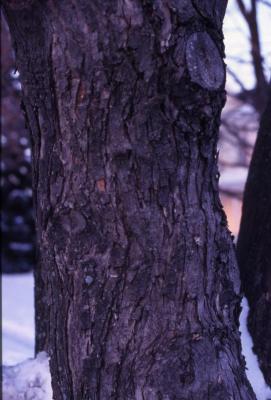 Acer saccharinum (silver maple), bark
