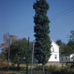 Acer saccharum 'Temple's Upright' (Temple's Upright sugar maple), habit