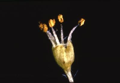 Acer saccharum (sugar maple), male flowers