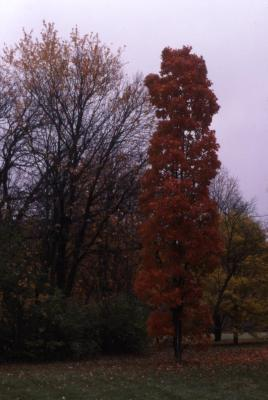 Acer saccharum 'Temple's Upright' (Temple's Upright sugar maple), fall color, habit