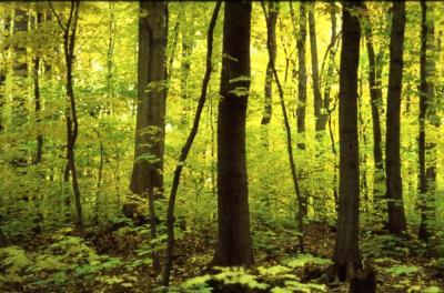 Acer saccharum (sugar maple), tree trunks