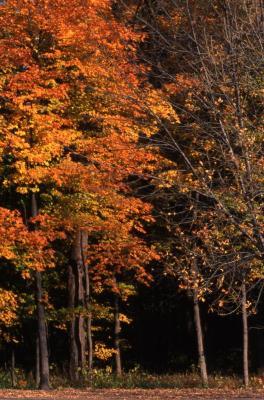 Acer saccharum (sugar maple), fall color
