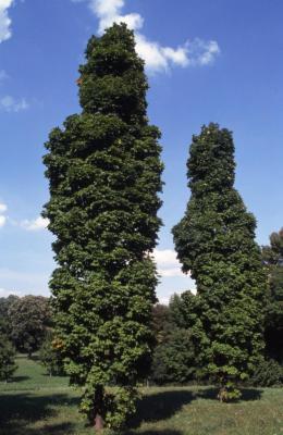 Acer saccharum 'Temple's Upright' (Temple's Upright sugar maple), habit, summer