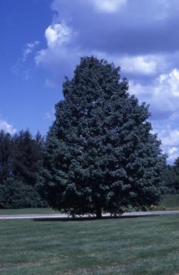 Acer saccharum (sugar maple), habit, summer