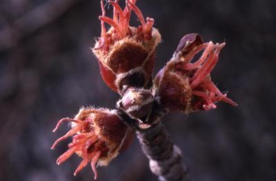 Acer saccharinum (silver maple), female flowers, spring