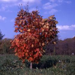 Acer saccharum 'Temple's Upright' (Temple's Upright sugar maple), habit, fall color