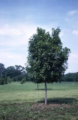 Acer platanoides 'Charles F. Irish' (Charles F. Irish Norway maple), habit, summer