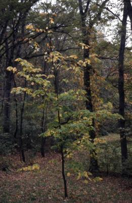 Acer pensylvanicum (striped maple), fall