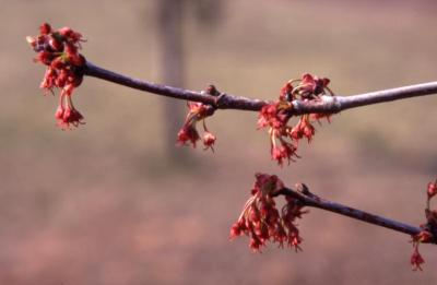 Acer rubrum (red maple), twigs and flowers, spring