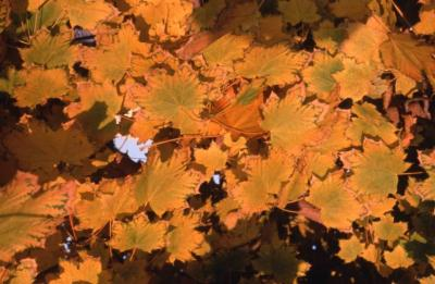 Acer platanoides 'Pond' (Emerald Lustre Norway maple), leaves showing fall color