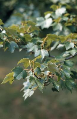 Acer rubrum (red maple), leaves, summer