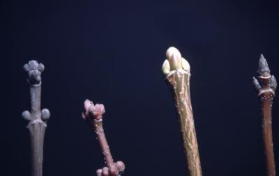 Acer (maple), bud and twig comparison