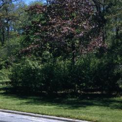 Acer platanoides 'Schwedleri' (Schwedler Norway maple), spring
