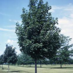 Acer platanoides (Norway maple), habit, summer