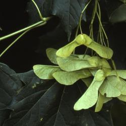 Acer platanoides (Norway maple), fruit