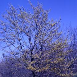 Acer platanoides (Norway maple), habit, spring