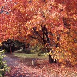 Acer rubrum (red maple), fall color