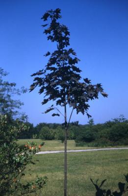 Acer platanoides 'Crimson King' (Crimson King Norway maple), sapling