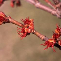 Acer rubrum (red maple), buds and flowers