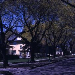 Acer platanoides (Norway maple), residential street