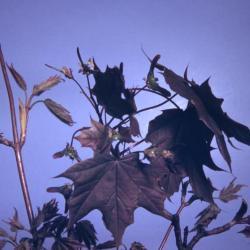 Acer platanoides 'Schwedleri' (Schwedler Norway maple), leaves