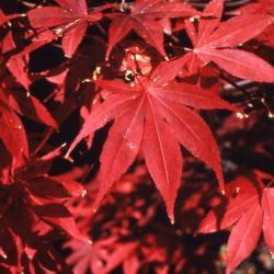 Acer palmatum 'Atropurpureum' (Purple-leaved Japanese maple), fall color