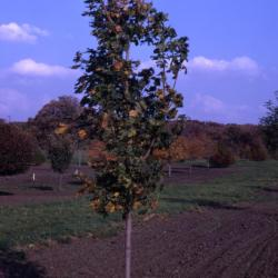 Acer platanoides (Norway maple), young tree